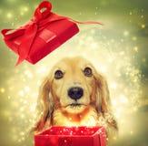 Perro basset que abre una caja mágica Fotos de archivo libres de regalías