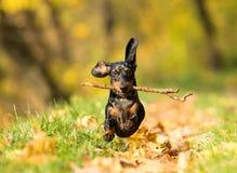 Perro basset que juega con un palillo fotos de archivo