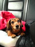 Perro basset que miente en cama Imagen de archivo libre de regalías