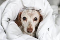 Perro basset que mira a escondidas hacia fuera de debajo las cubiertas de cama fotos de archivo