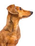 Perro basset que mira un lado Imagen de archivo libre de regalías