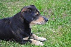 Perro basset que mira y poseing delante de la cámara Imagenes de archivo
