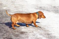 Perro basset rojo abandonado solo que corre en la ciudad a lo largo de la calle nevosa del invierno fotos de archivo libres de regalías