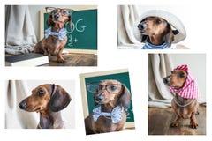 Perro basset rojo del collage en la tabla de madera Fotografía de archivo libre de regalías