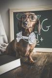 Perro basset rojo en la tabla de madera Imágenes de archivo libres de regalías