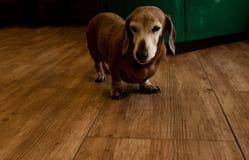 Perro basset viejo lindo en el piso en la casa imagen de archivo