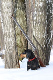 Perro basset y escopeta negros cerca del árbol de abedul en bosque del invierno Fotos de archivo