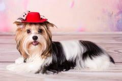 Perro bastante pequeño de York Fotografía de archivo libre de regalías