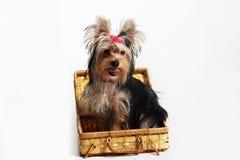Perro bastante pequeño de York Imagen de archivo libre de regalías