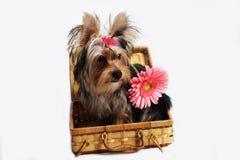 Perro bastante pequeño de York Foto de archivo libre de regalías