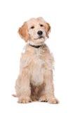 Perro beige de Labradoodle Foto de archivo libre de regalías
