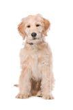 Perro beige de Labradoodle Imagen de archivo libre de regalías