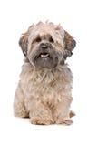 Perro beige de Labradoodle Fotografía de archivo