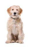 Perro beige de Labradoodle Fotos de archivo libres de regalías