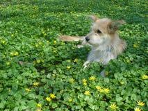 Perro beige joven que miente entre las flores salvajes amarillas Fotos de archivo