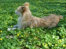 Perro beige joven que miente entre las flores salvajes amarillas Imagenes de archivo