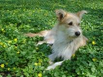 Perro beige joven que miente entre las flores salvajes amarillas Fotografía de archivo libre de regalías