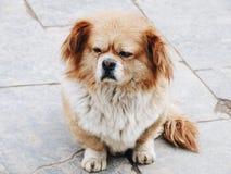 Perro beige lindo que se sienta en la tierra Foto de archivo