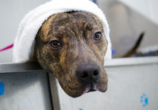 Perro berrendo de Pitbull Terrier del americano en tina de baño fotos de archivo
