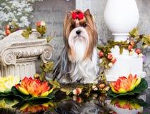 Perro Biewer Yorkshire Terrier y flores imágenes de archivo libres de regalías