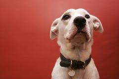 Perro blanco Imágenes de archivo libres de regalías
