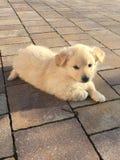 Perro blanco Foto de archivo libre de regalías