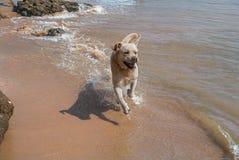 Perro blanco Fotos de archivo libres de regalías