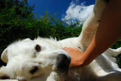 Perro blanco acariciado de mentira fotos de archivo