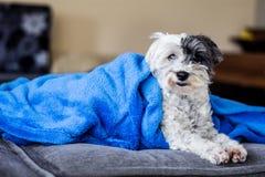 perro blanco adorable envuelto todo para arriba en una manta azul Imagen de archivo libre de regalías