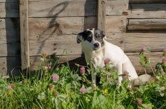 Perro blanco con el oído negro imagen de archivo