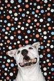 Perro blanco contra fondo del punto de polca. Imágenes de archivo libres de regalías