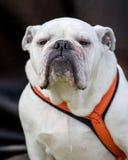 Perro blanco de Bull Imagenes de archivo