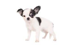 Perro blanco de pelo largo de la chihuahua imagenes de archivo