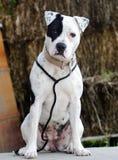 Perro blanco de Pitbull con el remiendo del ojo morado imagenes de archivo