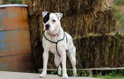 Perro blanco de Pitbull con el remiendo del ojo morado Fotografía de archivo libre de regalías