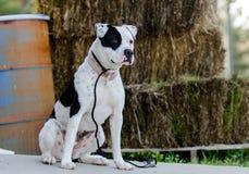 Perro blanco de Pitbull con el remiendo del ojo morado Imagen de archivo