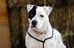 Perro blanco de Pitbull con el remiendo del ojo morado Imagen de archivo libre de regalías