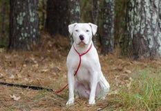 Perro blanco de Pitbull Terrier del americano con la sentada del ojo azul fotos de archivo libres de regalías