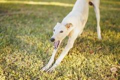 Perro blanco del galgo que bosteza en la hierba Fotos de archivo