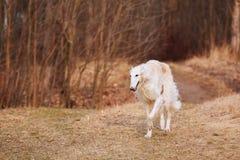 Perro blanco del galgo ruso, galgo ruso, caza rusa, Sighthound fotos de archivo libres de regalías