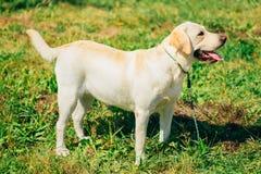 Perro blanco del labrador retriever que se coloca en hierba Fotografía de archivo