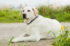 Perro blanco del perro perdiguero del lambrador imágenes de archivo libres de regalías