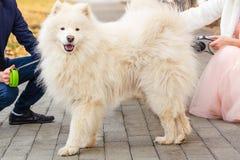Perro blanco del samoyedo imagen de archivo
