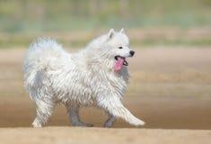 Perro blanco del samoyedo que corre en la playa Fondo a todo color de la naturaleza fotos de archivo