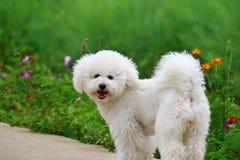 Perro blanco en al aire libre Imagen de archivo