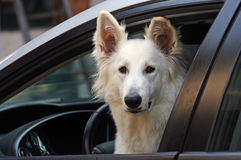 Perro blanco en el coche fotografía de archivo