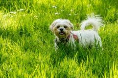Perro blanco en hierba verde larga Imágenes de archivo libres de regalías