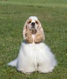 Perro blanco en la hierba verde que mira la cámara imagen de archivo
