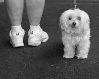 Perro blanco en una caminata Foto de archivo libre de regalías
