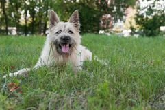 Perro blanco feliz del retrato que sonríe en parque el verano de la hierba imagen de archivo libre de regalías